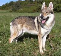 premiere pro cs6 cani taglia grande in vendita, cuccioli di lupo  cecoslovacco da privati e allevamenti. lupo chi decide di condividere  regali x bambini